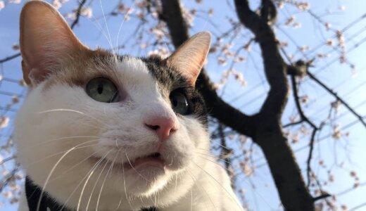 お花見散歩2021!新しいスリング式のキャリーバッグで「あめ」と「つゆ」と桜を見に行きました!