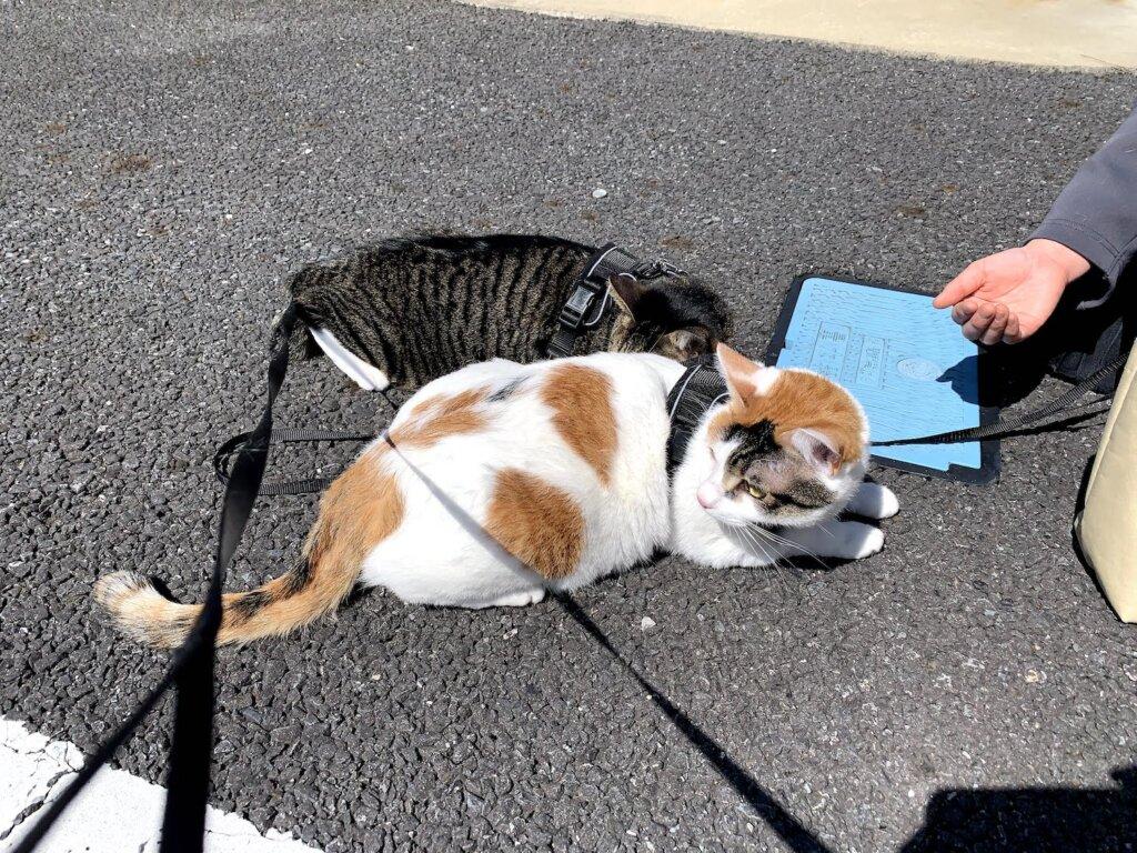 レビュー 猫 散歩 キャリーバッグ スリング 感想 キジ白 花見 三毛猫