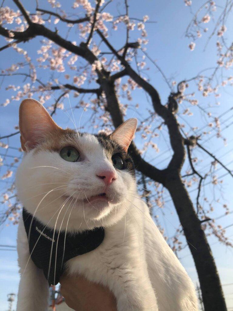 花見 猫 散歩 キャリーバッグ スリング 三毛猫 桜