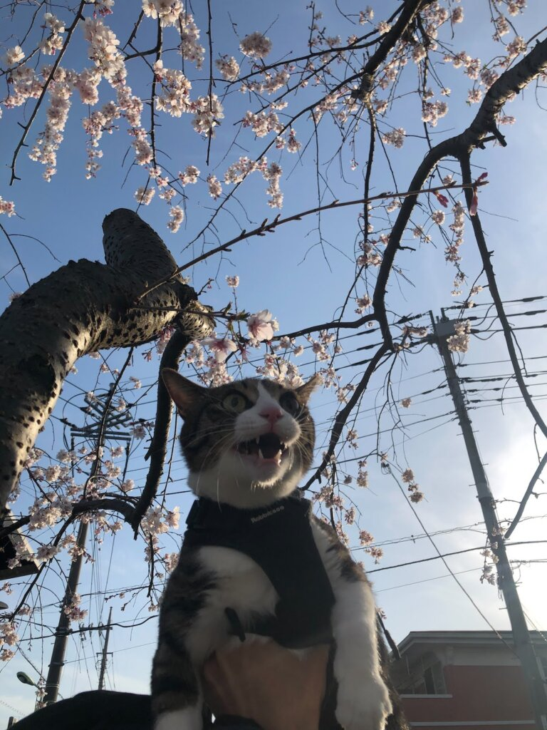 花見 猫 散歩 キャリーバッグ スリング 桜 キジ白
